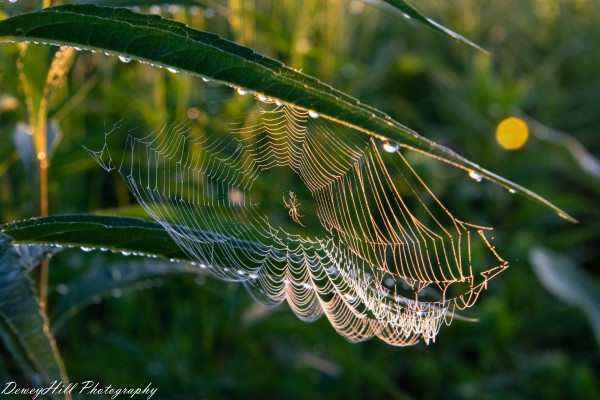 Morning Dew Spider  by DeweyHill Photography