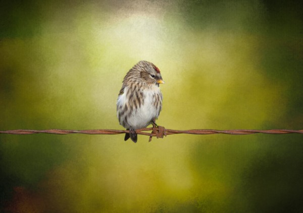 Redpoll on a Wire Canvas Print