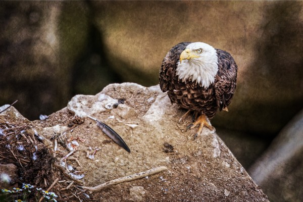 Bald Eagle on a Ledge Canvas Print