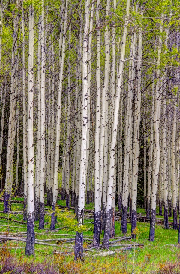 Aspens In Banff National Park by Mike Gould Photoscapes