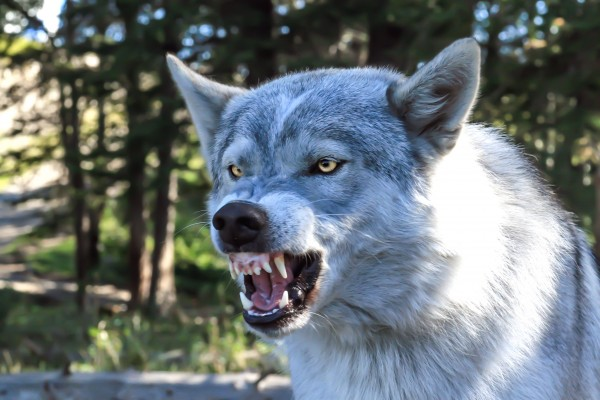 Wolf Dog Snarling by Mike Gould Photoscapes