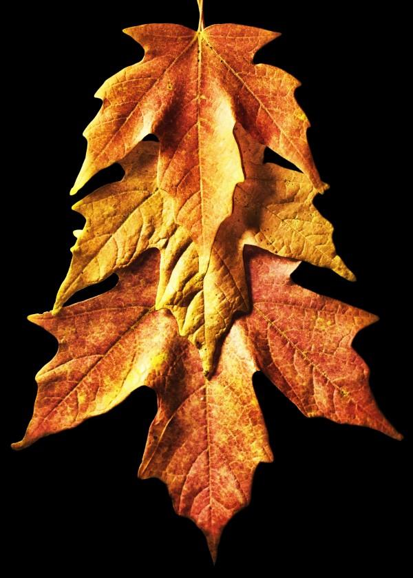 Fall Maple Leaves 1 by Richard Krol