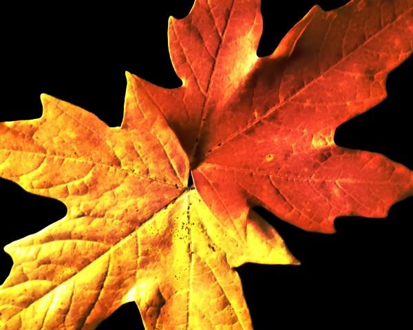 Fall Maple Leaves 3 by Richard Krol