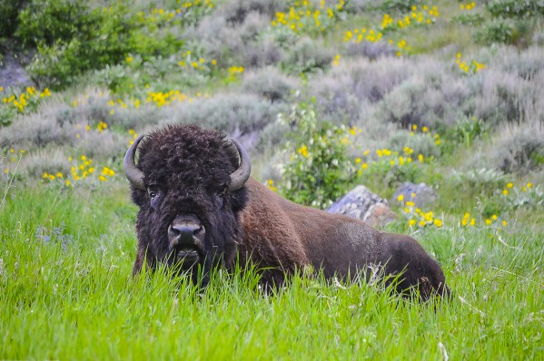 Bison Bull by Scene Again Images: Photography by Cliff Davis