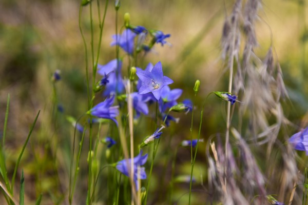 Bluebell Bellflower by Scene Again Images: Photography by Cliff Davis