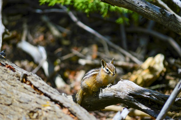 Chipmunk by Scene Again Images: Photography by Cliff Davis