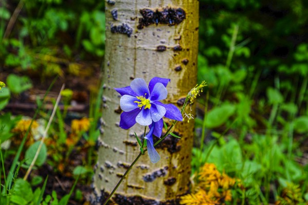 Columbine by Scene Again Images: Photography by Cliff Davis