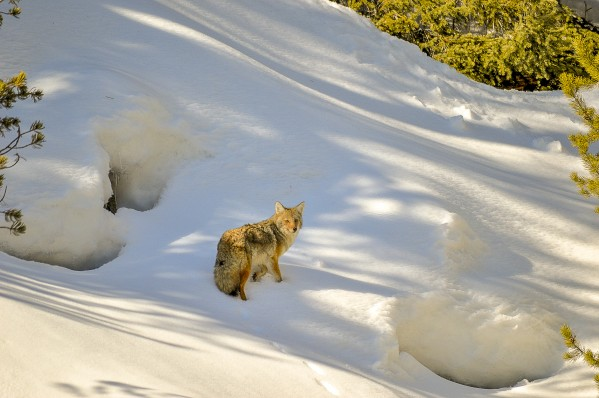 Coyote by Scene Again Images: Photography by Cliff Davis
