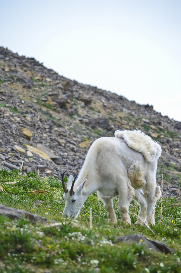 Grazing Mountain Goat by Scene Again Images: Photography by Cliff Davis