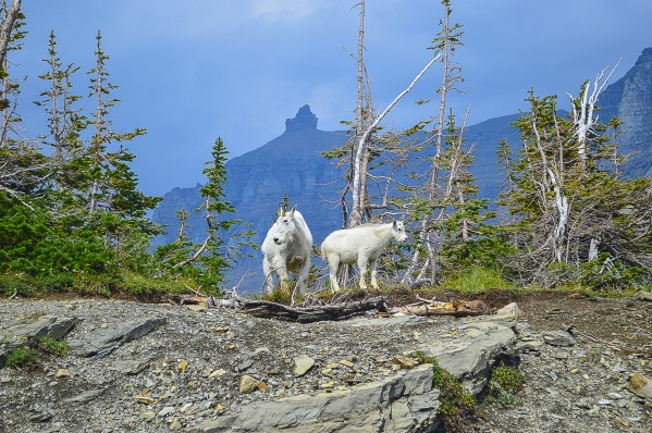 Mountain Goats at Logan Pass by Scene Again Images: Photography by Cliff Davis