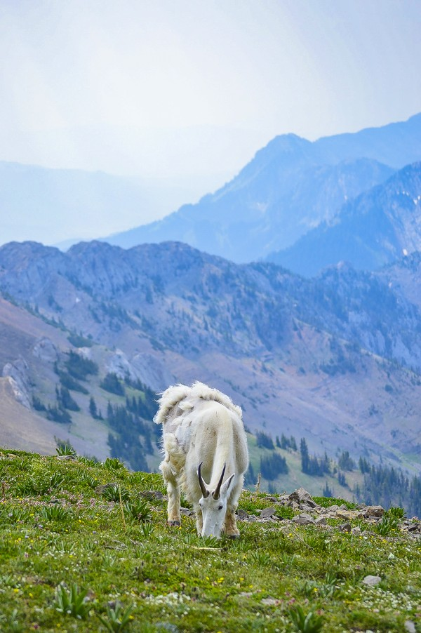 Rocky Mountain Goat by Scene Again Images: Photography by Cliff Davis