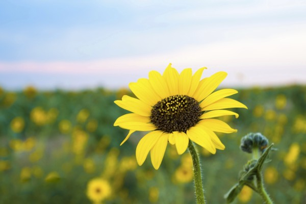 Sunflower by Scene Again Images: Photography by Cliff Davis