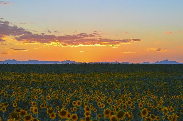 Sunflowers at dusk by Scene Again Images: Photography by Cliff Davis