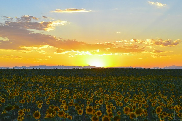Sunflowers at Sunset by Scene Again Images: Photography by Cliff Davis