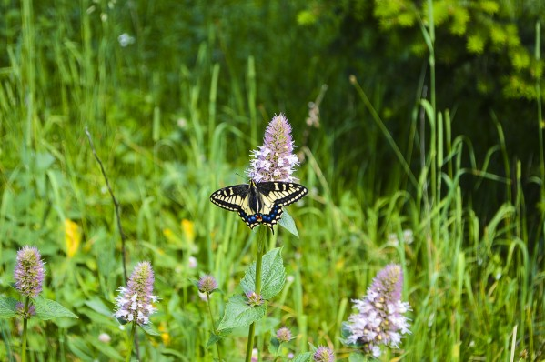 Western Tiger Swallowtail by Scene Again Images: Photography by Cliff Davis