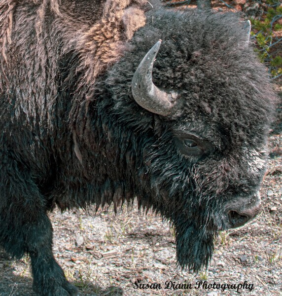 Bison-The Long Journey Home by Susan Diann Photography