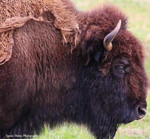 Old  Bison by Susan Diann Photography