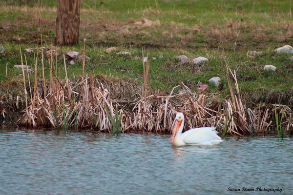 Pelicans Pond by Susan Diann Photography