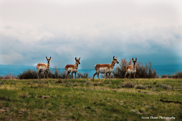 Where The Antelope Roam by Susan Diann Photography