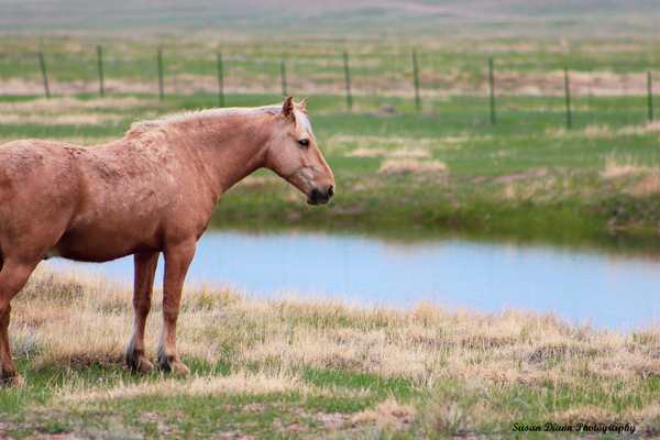 Strawberry Roan by Susan Diann Photography