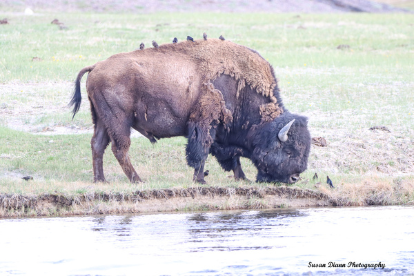 Bison-Hitching A Ride by Susan Diann Photography