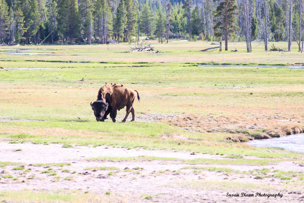 Grazing The Lowlands by Susan Diann Photography