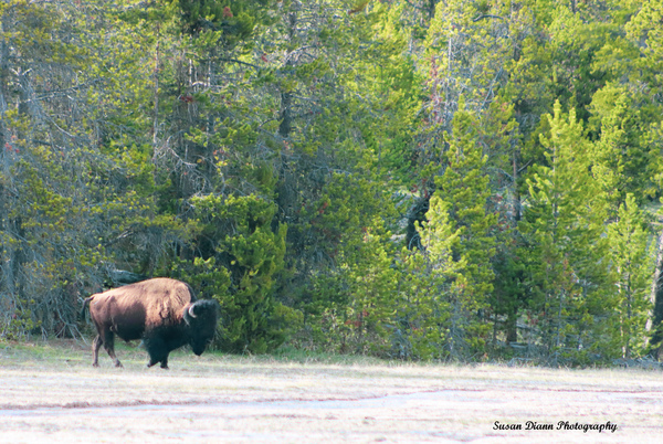Bison-Out Of The Shadows by Susan Diann Photography