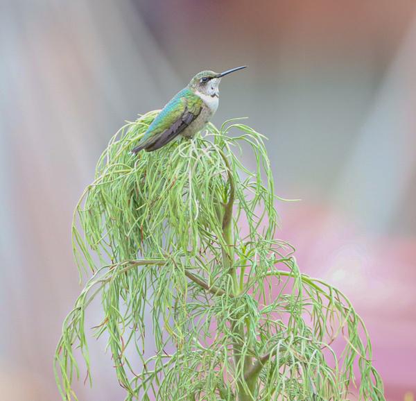 Hummingbird  by Susan Diann Photography