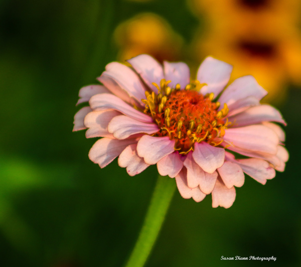 Pink Series 10 by Susan Diann Photography