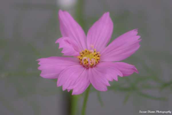 Pink Series 12 by Susan Diann Photography