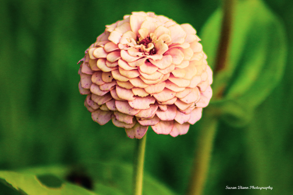 Pink Series 14 by Susan Diann Photography
