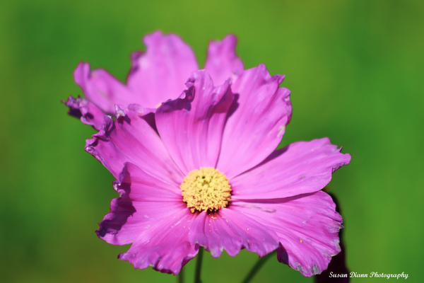Pink Series 2 by Susan Diann Photography