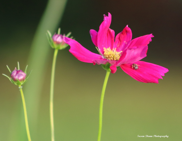 Pink Series 4  2  by Susan Diann Photography