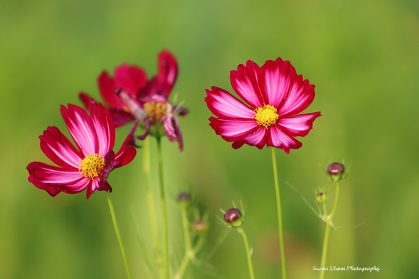 Pink Series 5 by Susan Diann Photography
