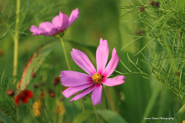 Pink Series 9 by Susan Diann Photography