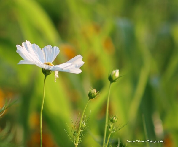 White Series 6 by Susan Diann Photography