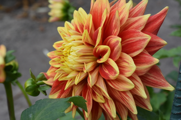 Daring Dahlia by Photo Art Unlimited