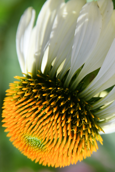 Daisy Comet by Photo Art Unlimited