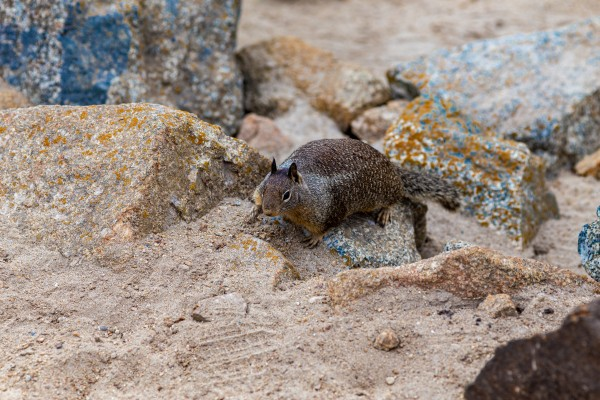 Squirrel in the Rocks   Monterey Peninsula 1391 by @ThePhotourist