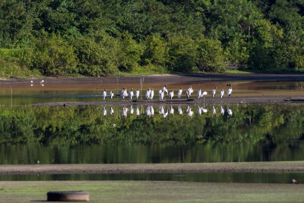 Wood Storks at Silver Bluff Audubon 0448 by @ThePhotourist