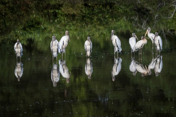 Wood Storks at Silver Bluff Audubon 0592 by @ThePhotourist
