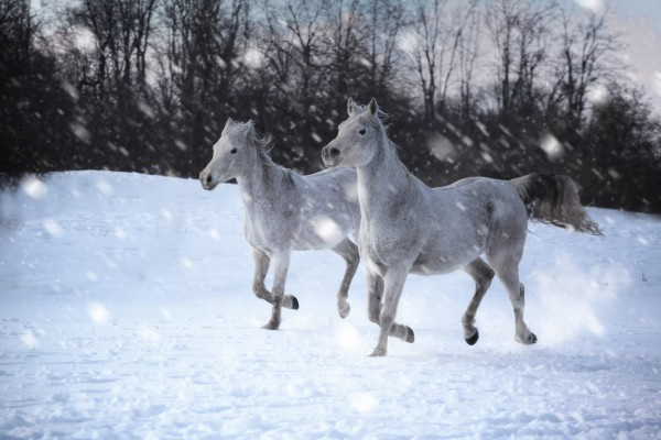 Horses in the Snow by Victor Rose Photo