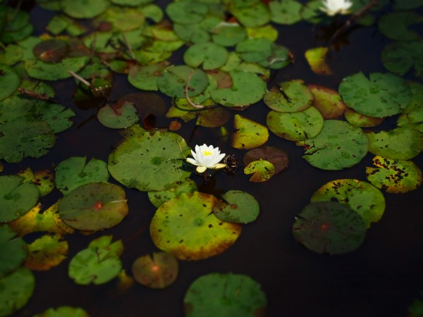 Water Lily 2 by Victor F Rodriguez Jr