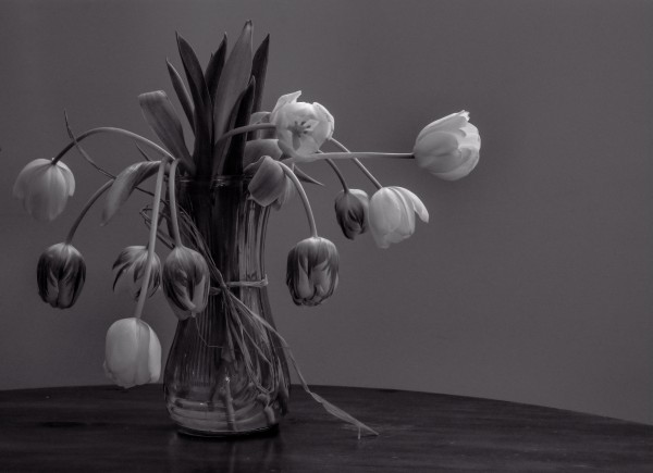 Tired tulips by Violet Carroll
