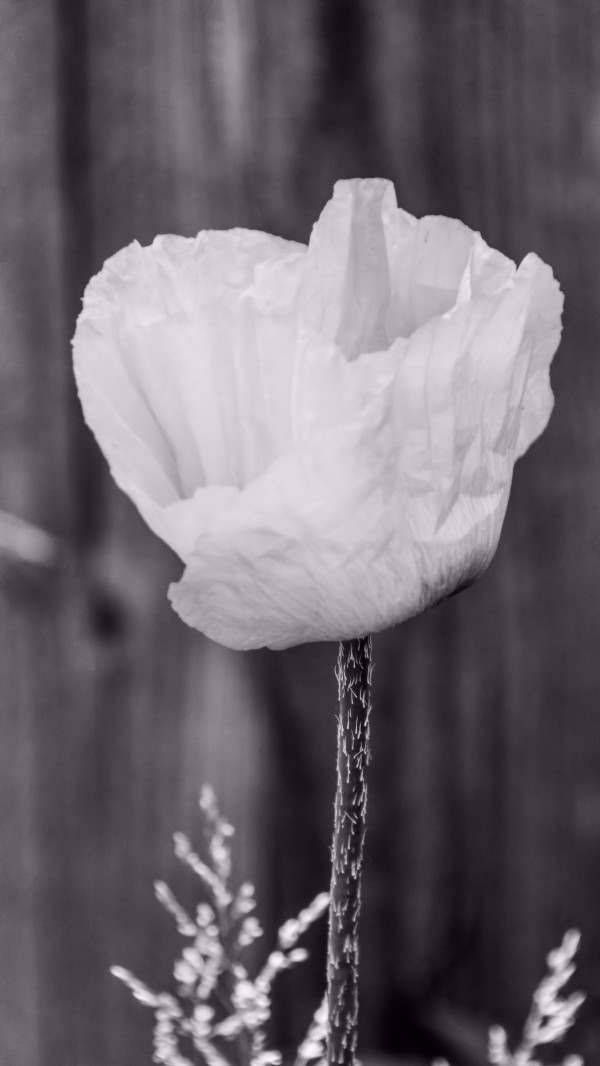 Country poppy by Violet Carroll