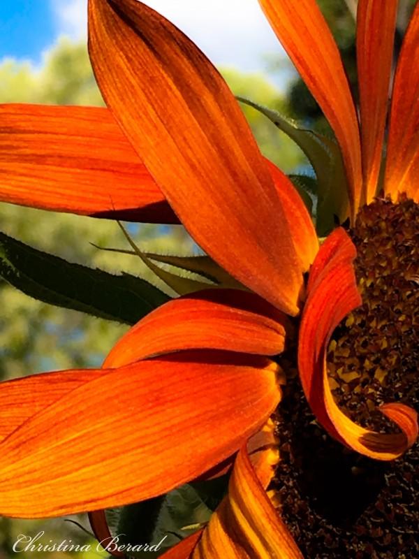Sunflower  by VortexStyle