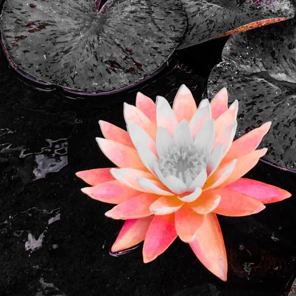 Lotus by VortexStyle