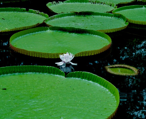 Lotus by anartlova