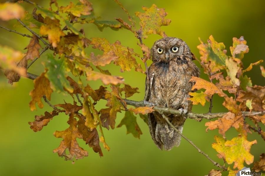 Eurasian scops owl , 1x ,