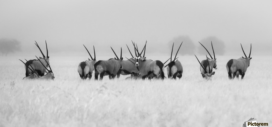 Oryx in the rain  Print
